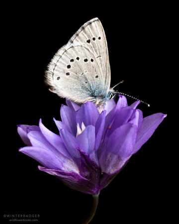 Echo azure butterfly  on blue dicks wildflowers against black background