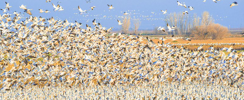 Mass Ascension of Ross Geese Merced Wildlife Refuge CA