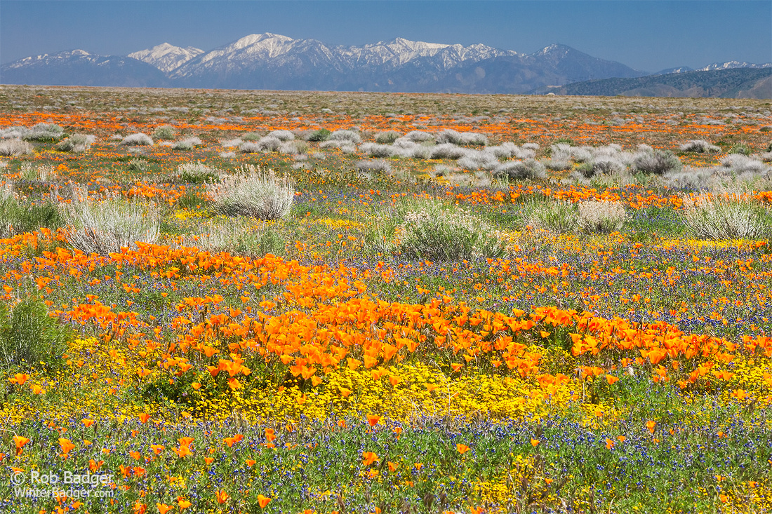 Field of wildflowers_California Poppies and Lupine_Antelope Valley California Poppy Reserve_California_K3B7247_Rob Badger