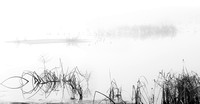 Tree in fog with yellow reeds and coots_DSC1830_BW_x1550