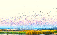 COPY ross geese taking flight cattails in foreground MercedNWR_DSC1800_19 x 62""