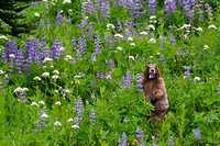 RobBadger__marmot-eats-lupine-wildflowers_Mount-Rainier-Wilderness-Area-WA__wildlife