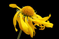single_sneezeweed_ybb_co_MG_1068