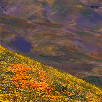Wildflower hillside Poppies, Hungry Valley Recreation Area_Gorman_California_x1033
