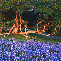 California Buckeye tree_and_Lupine wildflowers_after sunset_Monterey County_California_Rob Badger