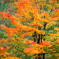 Red orange and yellow leaves on a Sugar maple tree_Acer saccharum_in fall foliage with dark wet trunk_Green Mountain National Forest_Vermont_USA_Rob Badger