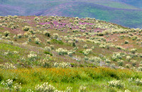 Field of wildflowers_White Lupine_Fiddleneck_Owls Clover_rolling hills_Temblor Range_Kern County_California_MK3B1007