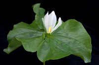 western_wake-robin_Trillium_ovatum_black_background_01_k3d0369_x1550
