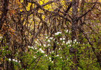 Serviceberry Bush wildflower blossoms_Scrub Oak woodlands_Columbia River Gorge National Scenic Area_Oregon_USA__k3d0086_Rob Badger