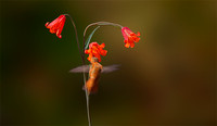 Hummingbird and Scarlet Fritillary Lily_Fritillaria recurva_natural background_Upper Table Rocks_Nature Conservancy Land_Oregon_K3D0205_Rob Badger