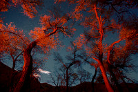 Moonlight, Stars and Cottonwoods Lit by Campfire, #01, Nevada