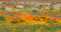 Field of wildflowers_panorama_California Poppies and Lupine_Antelope Valley California Poppy Reserve_California_K3B7247_Rob Badger