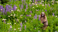 marmot_eating_lupine_01_Mt Rrainier national Park_WA_IMG_1942_x1920