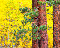ponderosa_pine_trunks and branches_and_aspen trees_in fall folliage_lee vinning canyon_ca__X1_9047_x1550