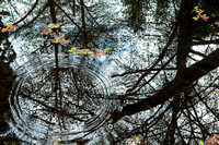 salmon_ripples_in_alder_reflections_muir_woods National_monument_marin_county_ca_01_X1_0626_x1550