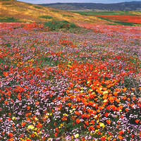 Field of wildflowers_California Poppies_and_Blue Gilia_Antelope Valley California Poppy Reserve_California