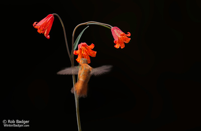 Hummingbird and Scarlet Fritillary_Lily_Fritillaria recurva_black background_Upper Table Rocks_Nature Conservancy Land_Oregon_K3D0205_Rob Badger