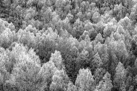 Backlit Aspen Trees Populus tremuloides_in fall folliage_South fork Bishop Creek Inyo Nationa Forest Sierra Nevada Mountans_Inyo County California_DSC0664_BW